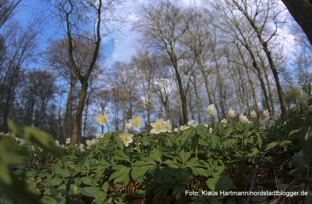Der Freundeskreis Fredenbaumpark e. V. lädt zur Buschwindröschen-Wanderung. Buschwindröschen gedeihen in dieser Jahreszeit unter den noch unbelaubten Bäumen