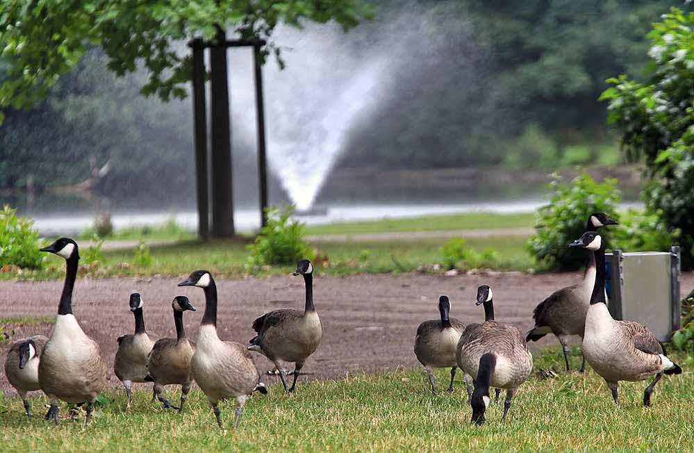 """Im Fredenbaumpark gibt es eine """"Invasion"""" von 200 Kandagänsen. Archivbilder: Oliver Schaper"""